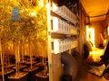 DESMANTELAN MIL PLANTAS DE MARIHUANA EN UNA NAVE DE ALAQUÀS (VALENCIA) COMPARTIMENTADA CON PLADUR