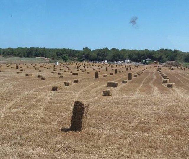 Cosecha de cereal en Formentera, agricultura