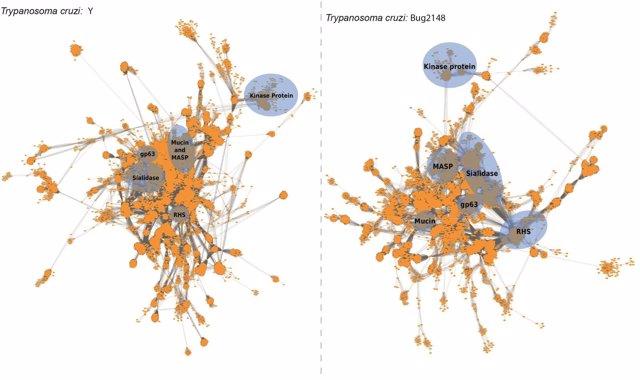 Secuencian dos genomas del parásito causante de la enfermedad de Chagas