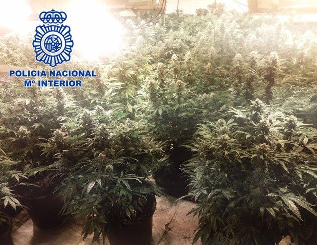 Imagen de la plantación de marihuana intervenida