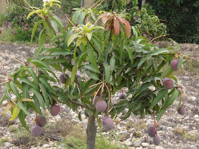 Árbol De Mango