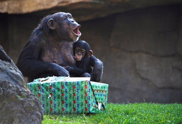 Chimpancés celebran la Navidad en Bioparc