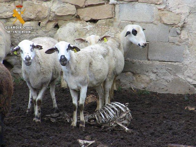 La Guardia Civil investiga a un ganadero por maltrato animal