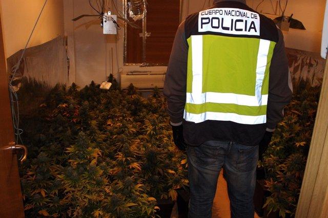 Cultivo de Marihuana desmatelado