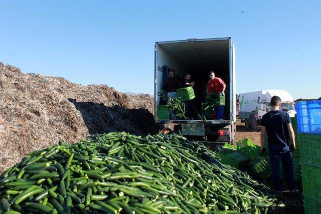 Retirada de pepino en un paraje de Almería por sus bajos precios