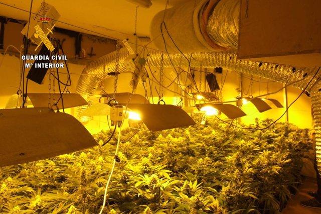 Plantación de marihuana en Gama