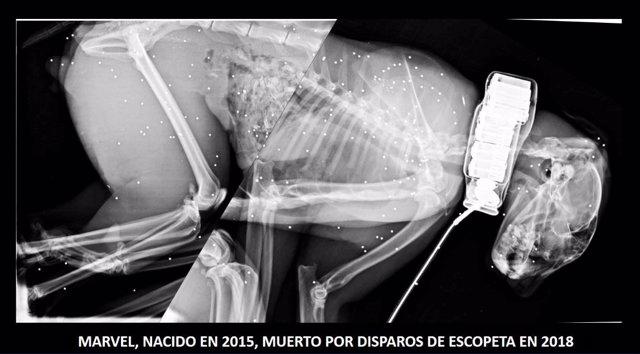 Radiografía del lince fallecido
