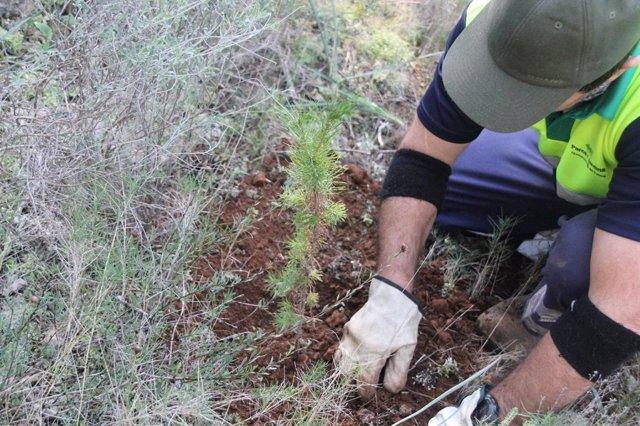 Un operario de Cort en los trabajos del bosque de Bellver