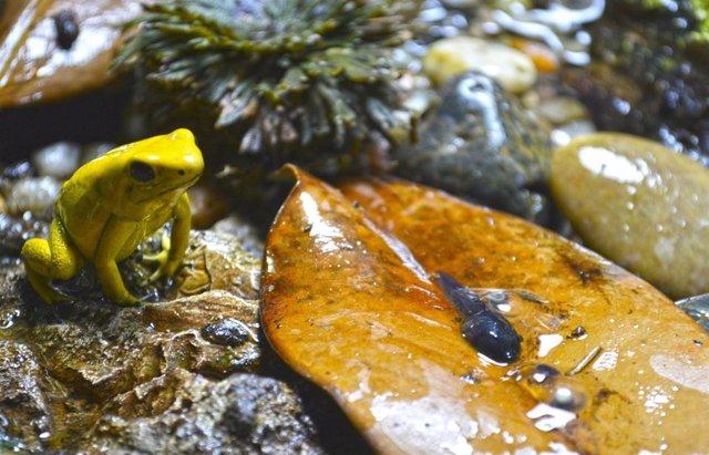 Cría de rana de flecha dorada