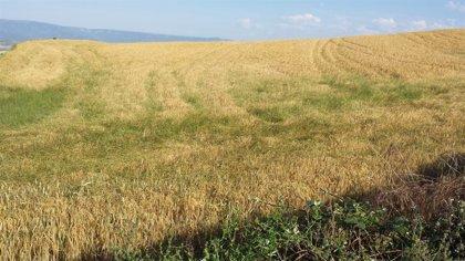 Un antioxidante natural del salvado de cereales podría reemplazar a los sintéticos