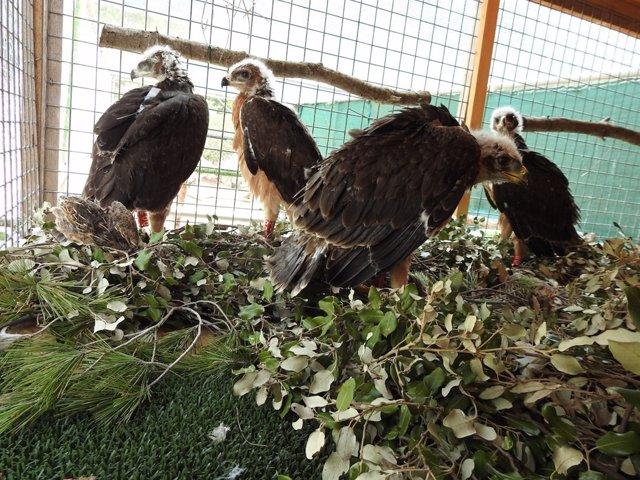 Águila Coabarreda