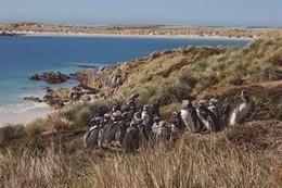 Colonia de pingüino de Magallanes en la Patagonia Argentina