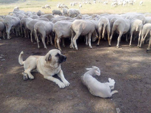 Mastín y ganado