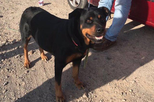Ejemplar de Rottweiler rescatado por la Policía Local