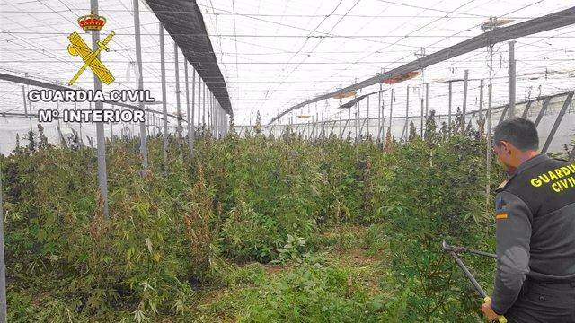 Plantas de marihuana encontradas en un invernadero