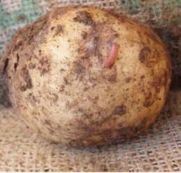 Plaga de la patata de la polilla guatemalteca