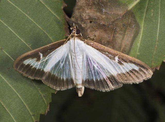 Mariposa del Boj