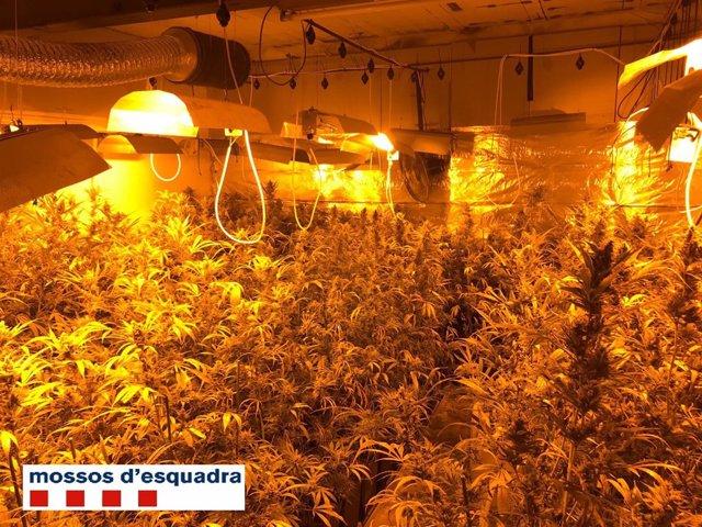 Plantació de marihuana a Tiana (Barcelona)