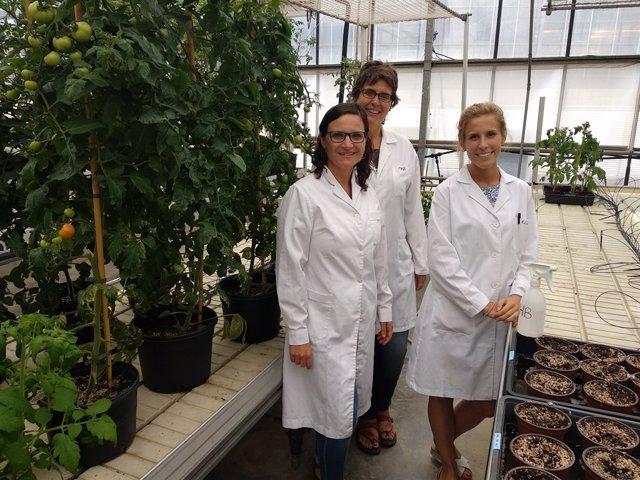 Aroma de tomate para proteger cultivos