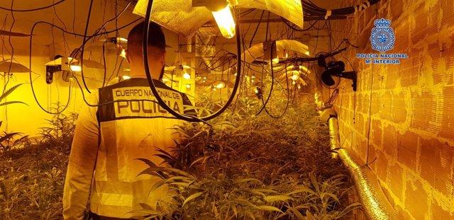 Plantas de marihuana incautadas en Pepino (Toledo)