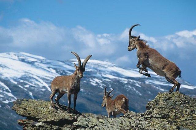 Ungulados en el Parque Nacional de Sierra Nevada
