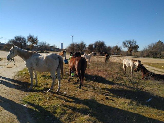 Caballos y mulos abandonados y rescatados por el Ayuntamiento de Sevilla