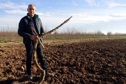 Agricultura busca pagesos que vulguin arrencar fruiters de pinyol per combatre la crisi de preus