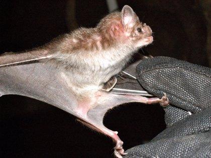 El veneno de un murciélago podría servir para crear nuevos tratamientos médicos