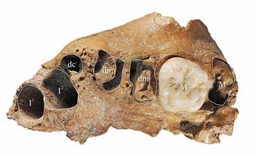 Dientes fósiles de Xujiayao