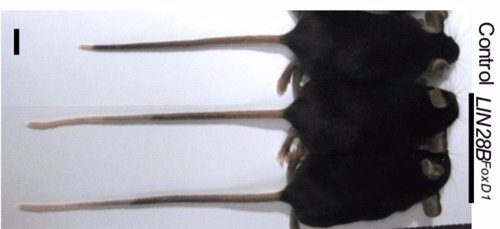 Ratones modificados genéticamente en el estudio