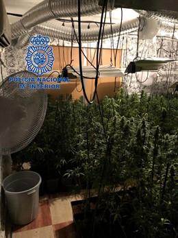 Cultivo de marihuana en Mérida