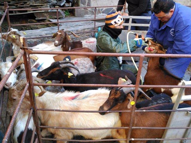 La Diputación de Cáceres adquiere el último rebaño de cabra jurdana