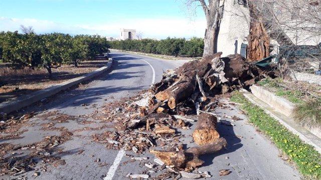 Caída del árbol en Borriana
