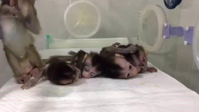 Clonan en china monos editados genéticamente con fenotipos de enfermedades