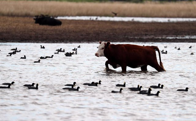 A cow grazes in a flooded field near Norberto de la Riestra, Argentina, January