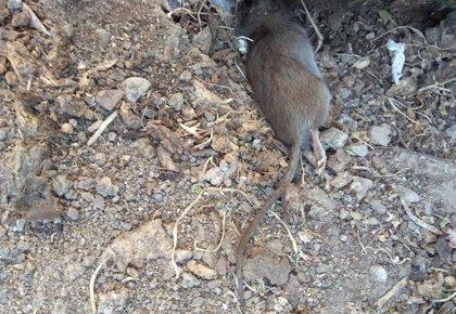 Argentina.- La OMS alerta de que 11 personas han muerto en Argentina por un brote de hantavirus transmitido por ratas