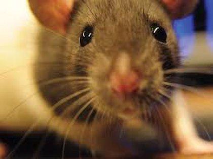 La OMS, alerta en Argentina por el hantavirus transmitido por ratas