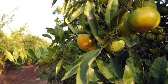 3. El Consell subratlla que seguirà defenent els interessos dels agricultors i la taronja valenciana davant UE i Govern