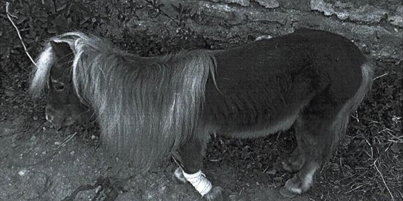 10. Detenido en Almería por maltratar a su poni, localizado atado a un árbol con una pata rota