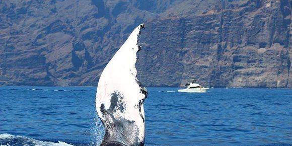 4. La necropsia de la ballena varada en Cala Millor se llevará a cabo 'in situ'