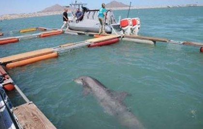 'Sea of Shadows', el documental que retrata el tráfico ilegal de la totoaba y la vaquita marina