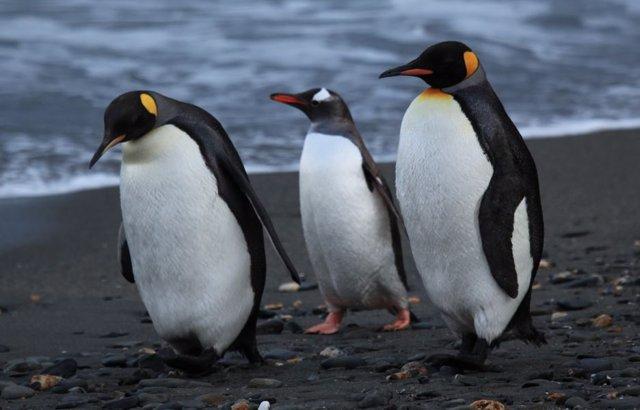 Pingüinos en la isla Georgia del Sur
