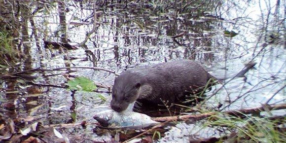 3. La vida silvestre es abundante en el área prohibida de Chernobyl