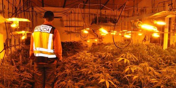 6. Dos jóvenes detenidos por cultivar cerca de 700 plantas de marihuana en una nave cercana a Mérida