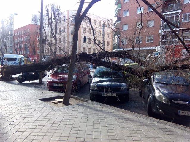 Cae un árbol de gran envergadura en la calle Embajadores de Madrid