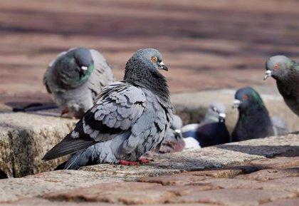 """ANECPLA insta a """"atajar el problema"""" de las palomas en las ciudades para salvaguardar la salud de los ciudadanos"""