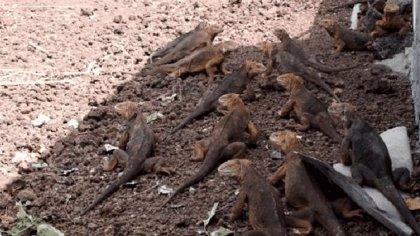 Más de 2.000 iguanas terrestres vuelven a las Galápagos