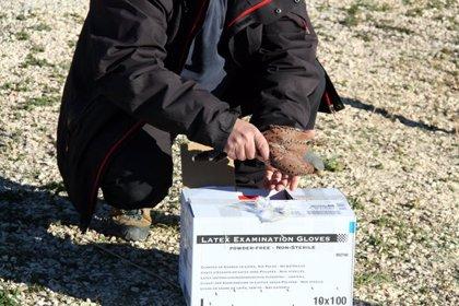 La població hivernal d'ocells aquàtics del Delta es manté per sobre de la mitjana de referència