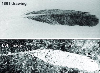 La primera pluma fósil no perteneció al icónico Archaeopteryx