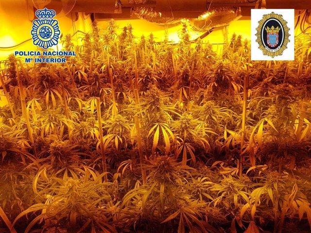 Marihuana decomisada en una plantación indoor en Jerez